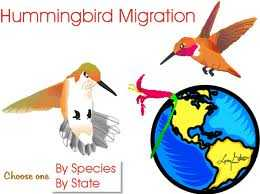 humming bird migration